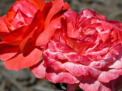 Sun Photograph - Pink Roses by Zina Stromberg