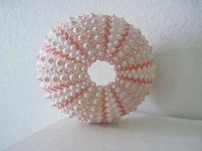 Pink Sea Urchin Still Life Art Print