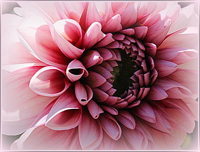 Pink Serenade - Dahlia Original