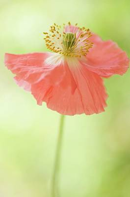 One Single Pink Poppy Flower Photograph - Pink Shirley Poppy by Maria Mosolova