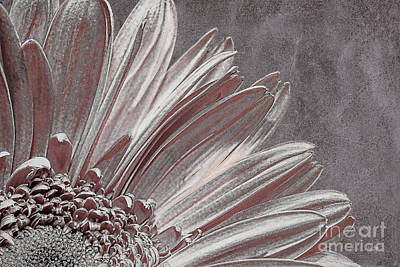 Gerber Daisy Photograph - Pink Silver by Lois Bryan