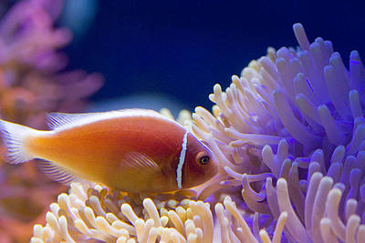 Clown Fish Photograph - Pink Skunk Clownfish by Carl Jackson