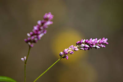 Photograph - Pink Smartweed by Christina Rollo