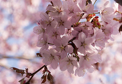 Photograph - Pink Spring - A Cloud Of Delicate Cherry Blossoms by Georgia Mizuleva