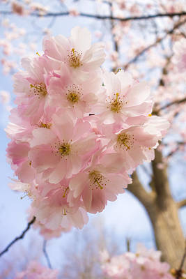 Photograph - Pink Spring Blossom Light Blue Sky by Matthias Hauser