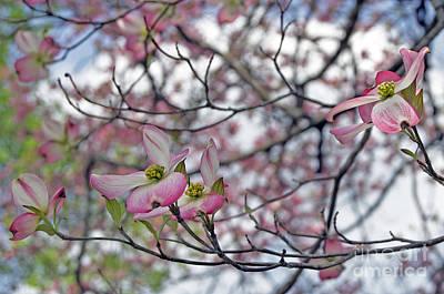Pink Spring Art Print by Skip Willits