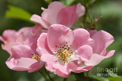 Photograph - Pink Summer Tea Roses by Lauren Brice
