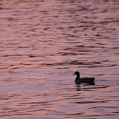 Photograph - Pink Sunset With Duck In Silhouette by Marianne Campolongo