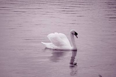 Photograph - Pink Swan by Laurie Perry