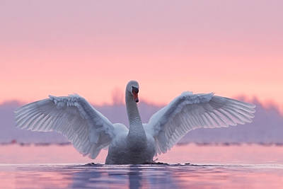 Sundown Photograph - Pink Swan by Roeselien Raimond