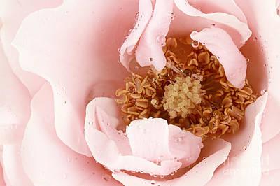 Pink Tea Rose Art Print