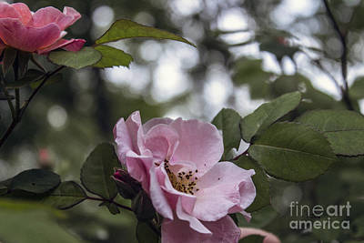 Photograph - Pink Tea Roses  by Ginette Callaway