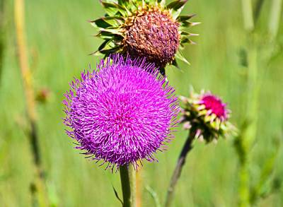 Photograph - Pink Thistle Study 3 by Robert Meyers-Lussier