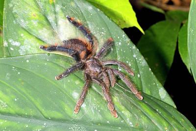 Tarantula Photograph - Pink Toed Tarantula by Dr Morley Read
