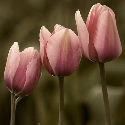 Pink Trio Art Print by Sonya Lang