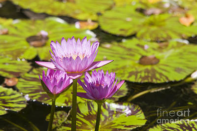 Pink Tropical Water Lilly Art Print