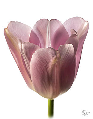 Photograph - Pink Tulip 2 by Endre Balogh