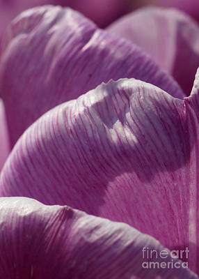 Photograph - Pink Tulip Calyx 6 by Rudi Prott