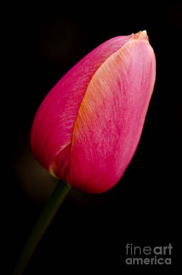 Pink Tulip Art Print by Dee Cresswell