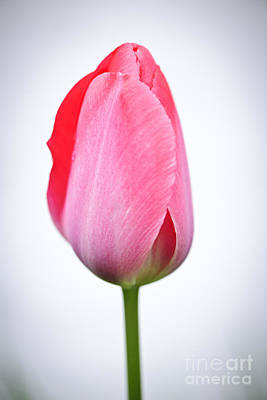 Tulips Wall Art - Photograph - Pink Tulip by Elena Elisseeva