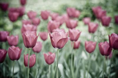 Pink Tulip Field Art Print by Frank Tschakert