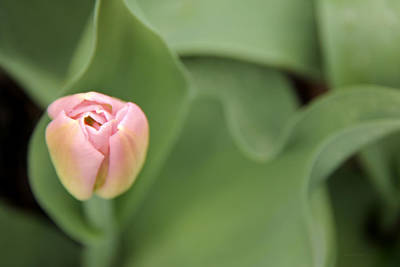 Photograph - Pink Tulip Flower by Jennie Marie Schell