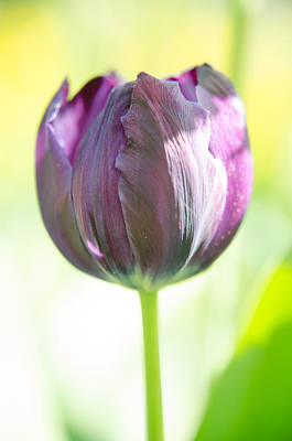 Photograph - Pink Tulip by Michael Goyberg