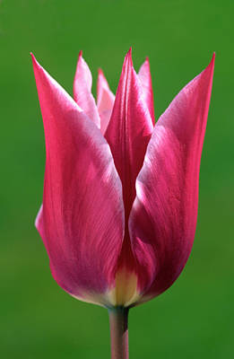 Deep Pink Photograph - Pink Tulip by Nigel Downer