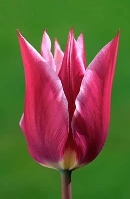 Striking Photograph - Pink Tulip by Nigel Downer