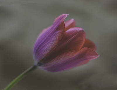 Photograph - Pink Tulip by Ron Roberts