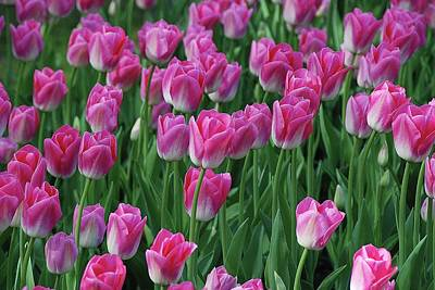 Art Print featuring the photograph Pink Tulips 2 by Allen Beatty