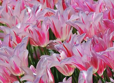 Photograph - Pink Tulips 3 by Allen Beatty