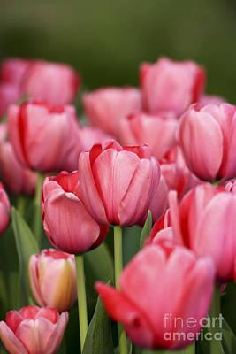 Photograph - Pink Tulips by Brian Jannsen