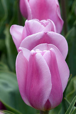Photograph - Pink Tulips by Cindy McDaniel