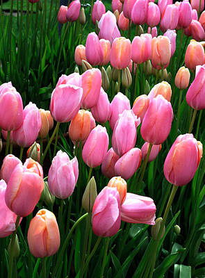 Art Print featuring the photograph Pink Tulips by Haleh Mahbod