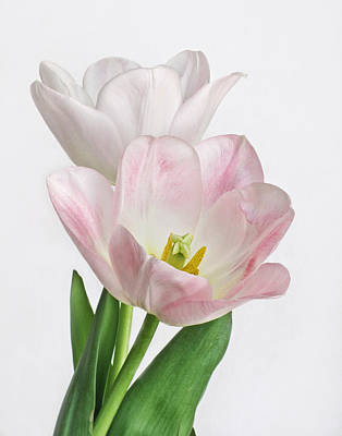 Photograph - Pink Tulips II by David and Carol Kelly