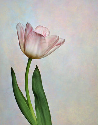 Photograph - Pink Tulips IIi by David and Carol Kelly