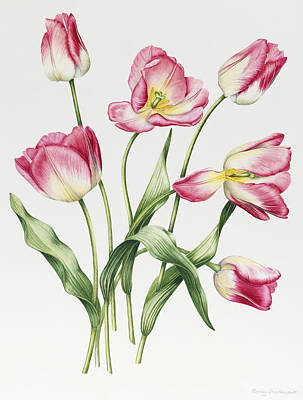 Pink Tulip Painting - Pink Tulips by Sally Crosthwaite