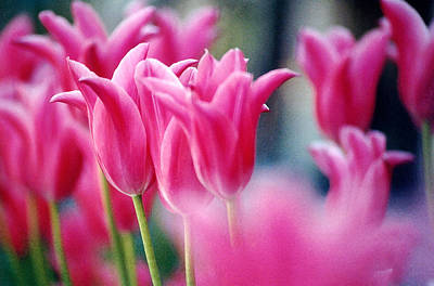 Art Print featuring the photograph Pink Tulips by Susan Crossman Buscho