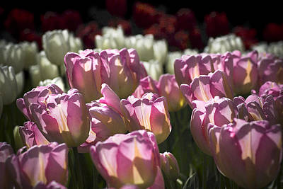 Photograph - Pink Tulips by Yulia Kazansky