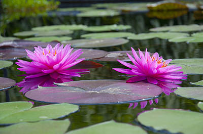 Lilly Pond Digital Art - Pink Water Lillies by Bill Cannon