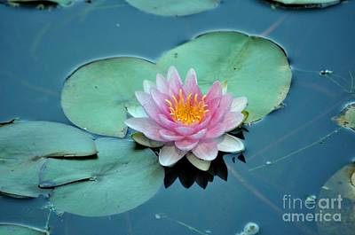 Beauty Photograph - Pink Water Lilly by Mandy Judson