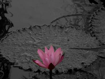 Water Droplets Sharon Johnstone - Pink Water Lilly by Mark J Dunn