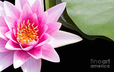 Lilies Royalty Free Images - Pink Water Lily and Pad Royalty-Free Image by Rebecca Cozart