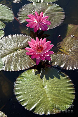 Pink Water Lily IIi Art Print by Heiko Koehrer-Wagner