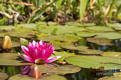 Photograph - Water Lily In Bloom by Martha Marks
