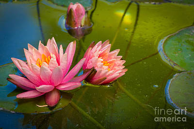 Lilies Royalty-Free and Rights-Managed Images - Pink Water Lily by Inge Johnsson