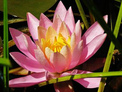 Pink Water Lily Art Print by Sherman Perry