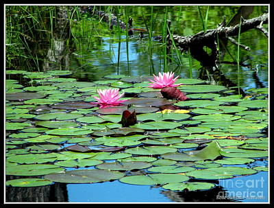 Photograph - Pink Waterlilies  by Rose Santuci-Sofranko