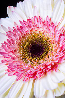 Gerbera Daisy Photograph - Pink White Daisy by Garry Gay